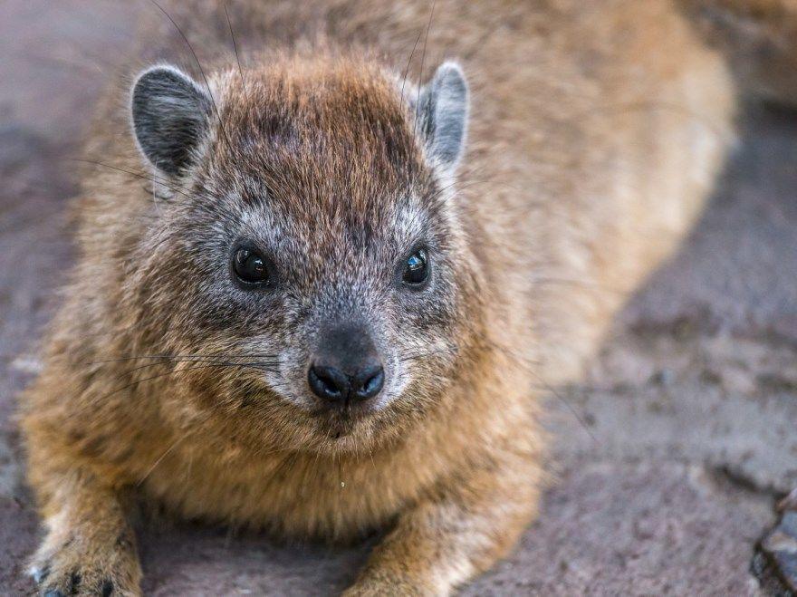 вомбат фото картинки австралия описание животного
