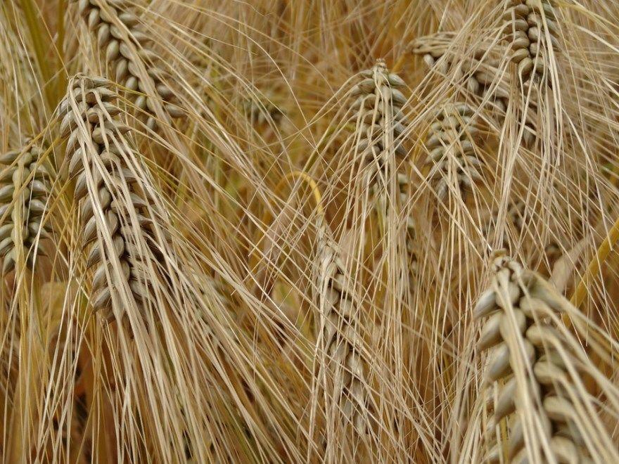 Ячмень на глазу лечу домашние условия пшеница дома быстро лечить верхнее веко зерно овес ребенка нижнее мазь взрослого причины яровой внутренний капли