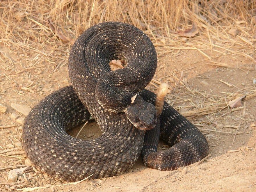 Змея ядовитая фото картинки животное пресмыкающееся укус большой купить бесплатно онлайн мамба черная