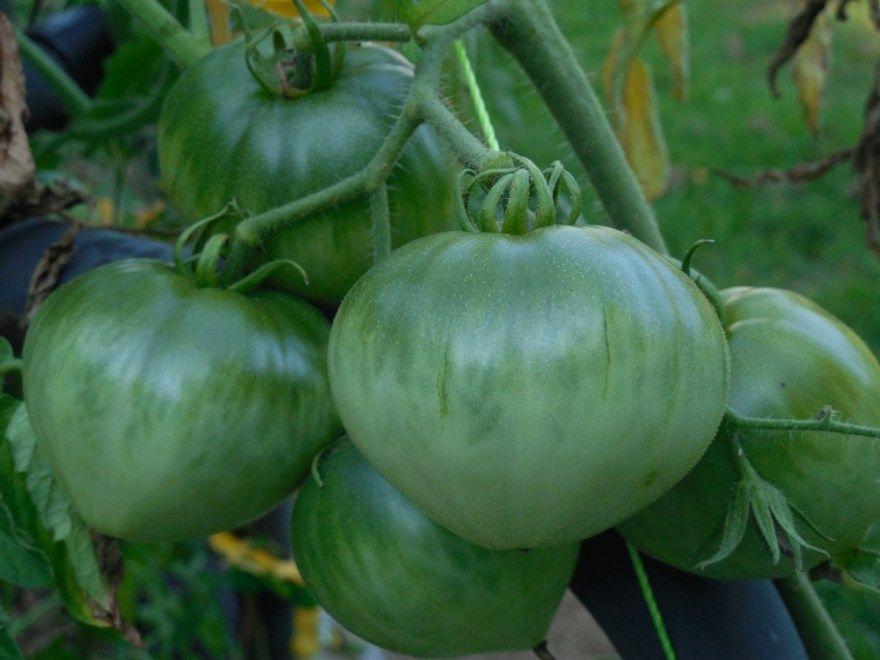 зеленые помидоры на зиму рецепт жареные салат вкусные быстро без кафе полустанок банки соленые приготовления стерилизации с зеленью холодный простой