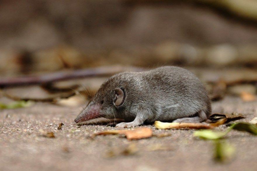 мышка землеройка фото картинки скачать бесплатно онлайн в хорошем качестве