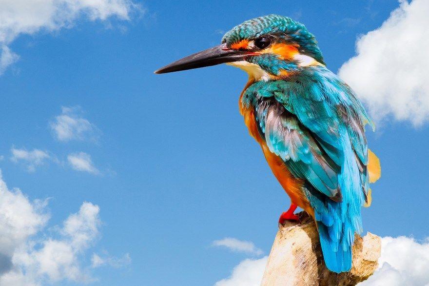 зимородок птица фото картинки скачать бесплатно онлайн в хорошем качестве