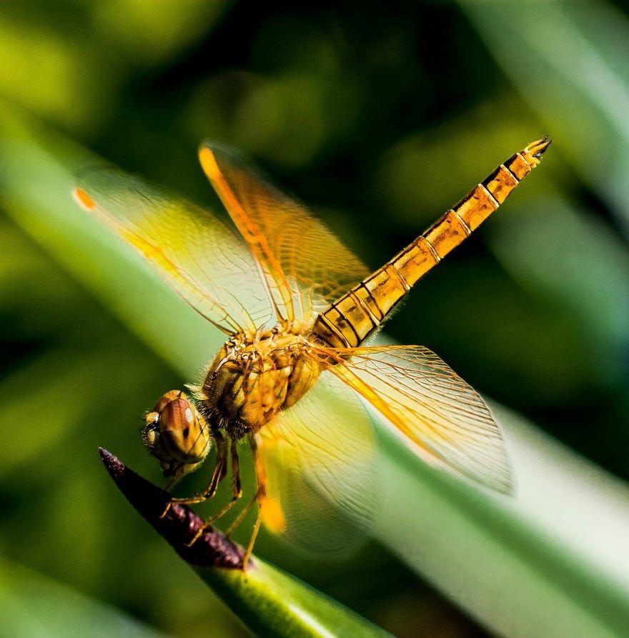 Стрекоза золотая насекомое животное фото картинки иркутск интернет бесплатно скачать смотреть онлайн